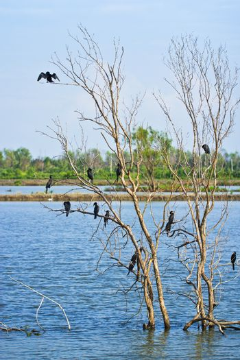 Little cormorant together as a group on tree spread the wings to sunbathe