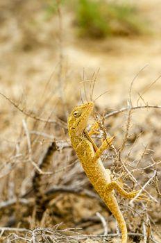 Closeup view of a small yellow lizard in La Guajira, Colombia