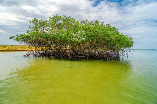Mangrove tree near the coast of Punta Gallinas in La Guajira, Colombia