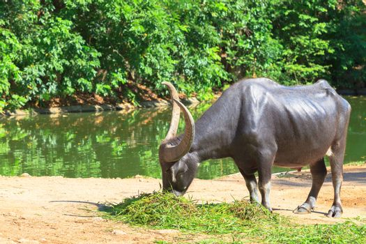 water buffalo eating grass