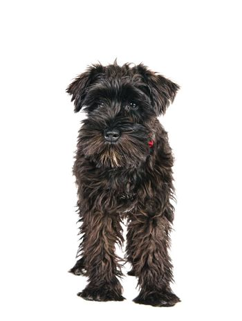 miniature schnauzer is isolated on a white background