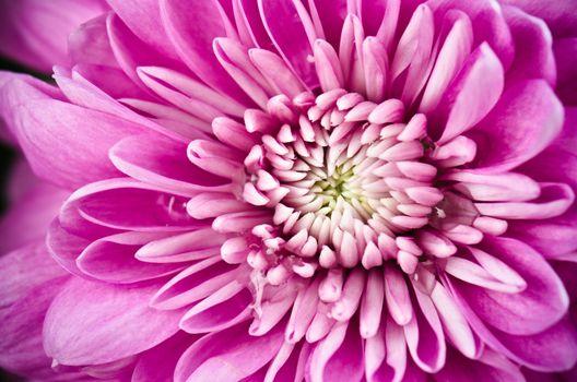 Petals of a pink chrysanthemum a close up