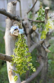 drying herbs in the garden