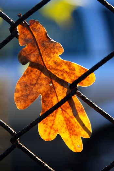 imprisoned falling oak leaf