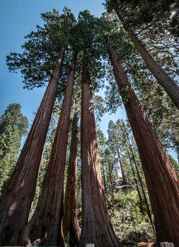 Sequoia trees panorama