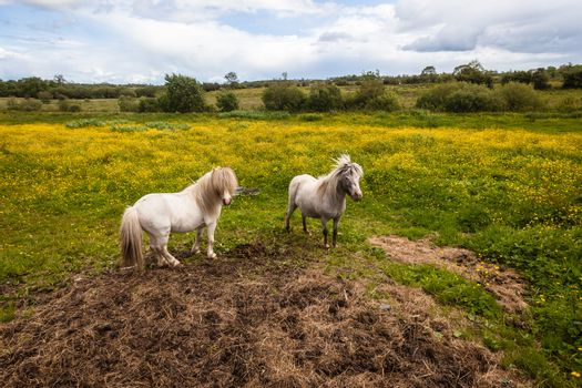 Ponies Two Animals