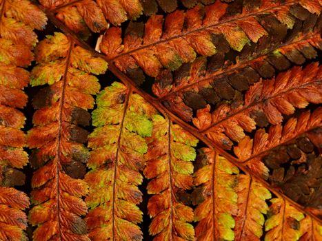 dried up fern