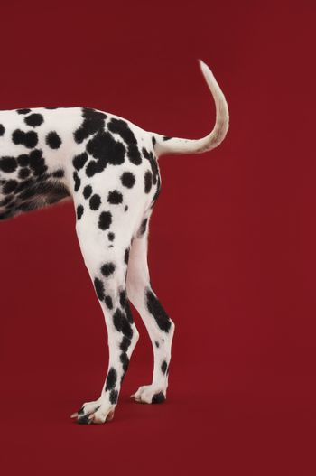 Side view of a Dalmatian's tail and hind legs against red background