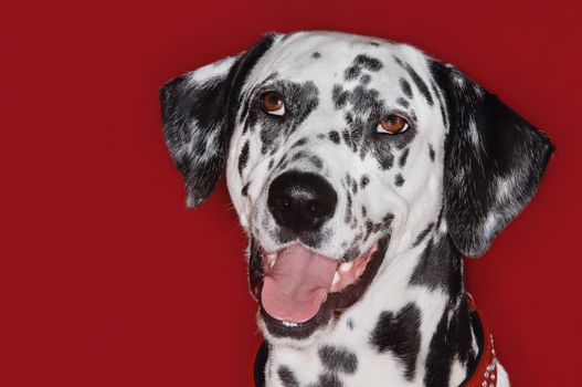 Closeup portrait of a Dalmatian with mouth open against red background