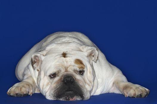 British bulldog lying down against blue background