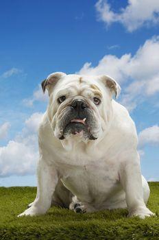 Portrait of a British bulldog sitting on grass against the sky