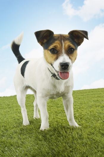 Side view of Jack Russell terrier standing on grass against the sky