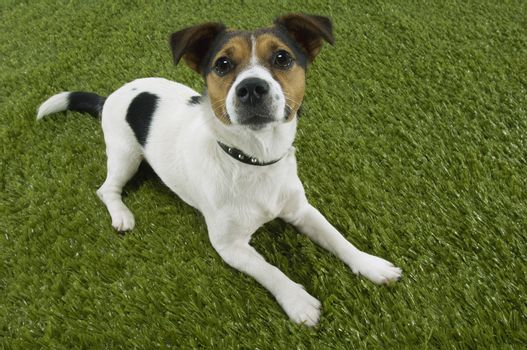 Portrait of Jack Russell terrier sitting on grass
