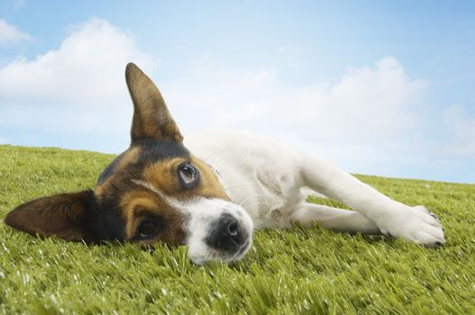 Jack Russell terrier lying on side on grass against the sky