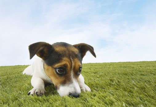 Closeup of Jack Russell terrier on grass against the sky