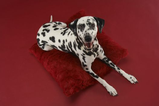 High angle view of a Dalmatian dog relaxing on cushion isolated over red background