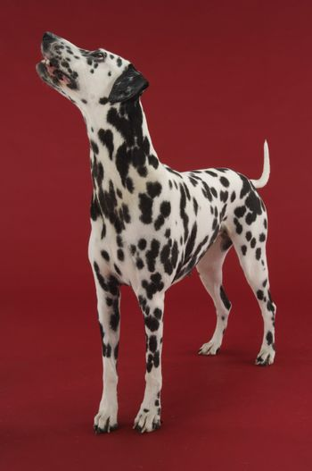 Dalmatian looking up against red background