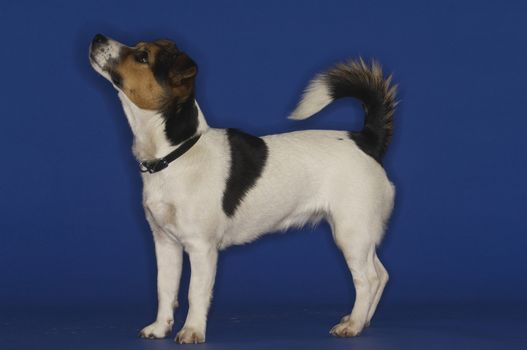 Jack Russell terrier standing over blue background