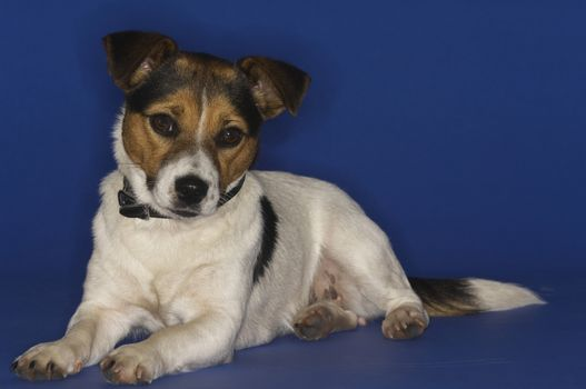 Jack Russell terrier sitting isolated over blue background