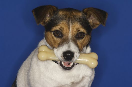 Jack Russell terrier with bone over blue background