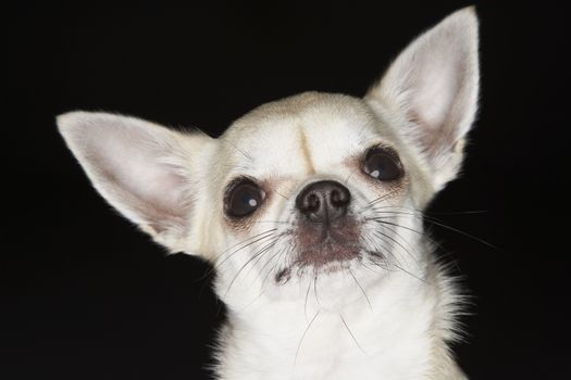 Portrait of Chihuahua over black background