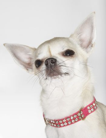 Closeup of a Chihuahua wearing studded collar against white background