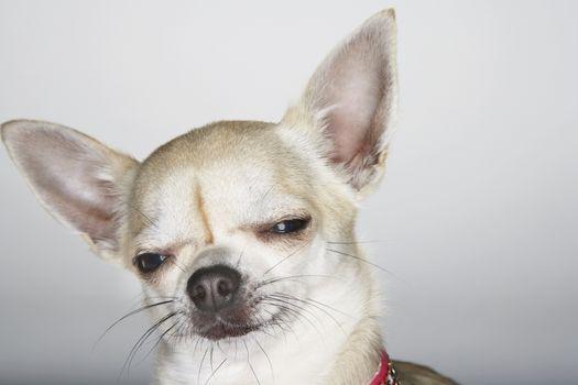 Closeup of sleepy Chihuahua over white background