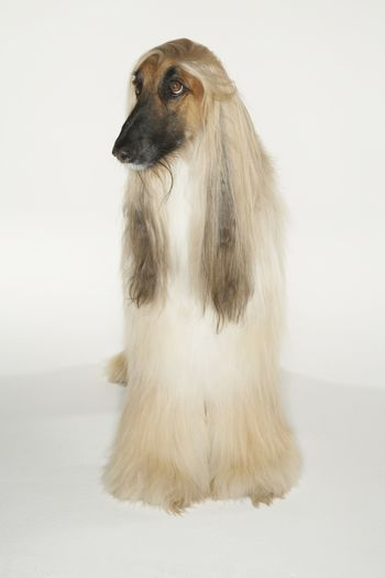 Full length of a Afghan hound over white background