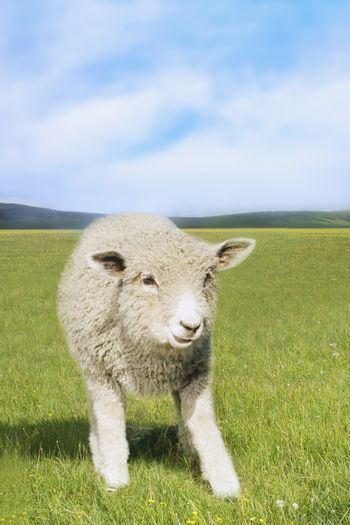 Sheep standing in the green field