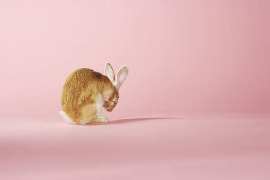 Grooming Rabbit