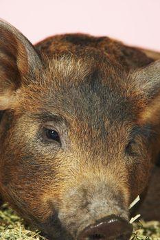 Closeup Of Brown Pig