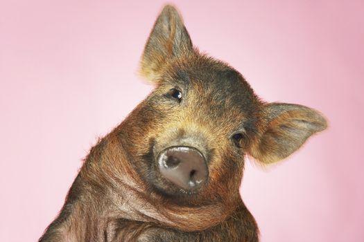 Brown Pig Against Pink Background