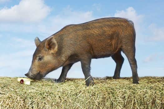 Pig Sniffing Food On Hay