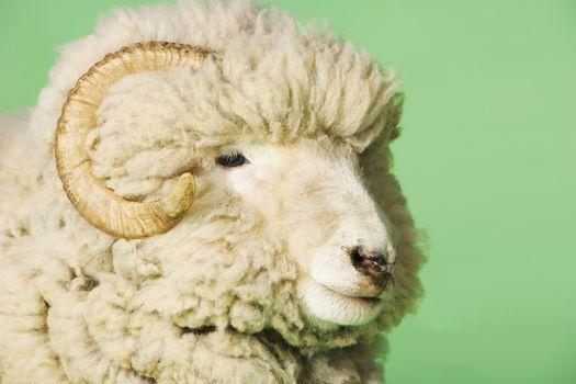 Closeup Of Ram