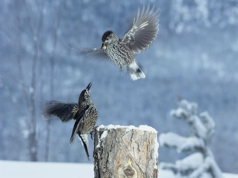 Two birds fighting for food in winter