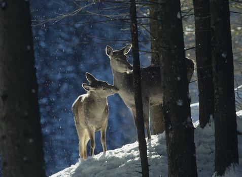 Red deer doe with cub