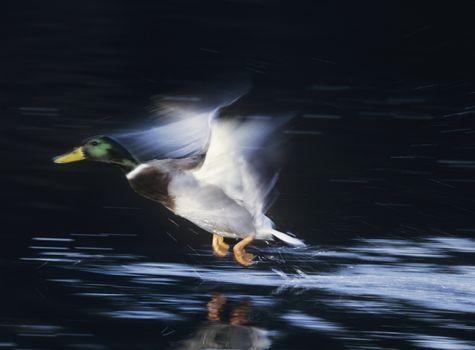 Mallard drake taking off motion blur