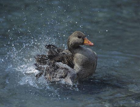 Mallard duck splashing in water
