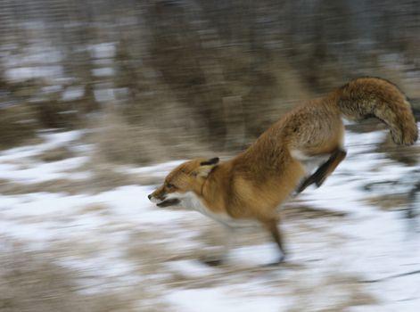 Fox running in woods motion blur