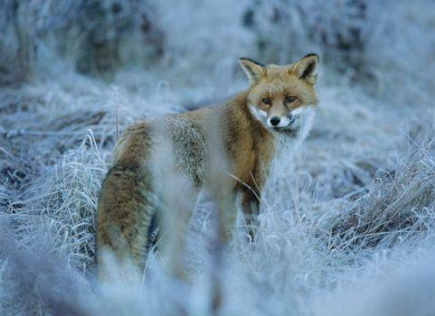 Fox in frozen grass