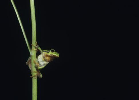 Tree frog balancing on stalk