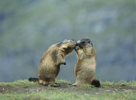 Two Marmots
