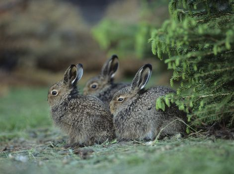 Three young hares sitting by bush