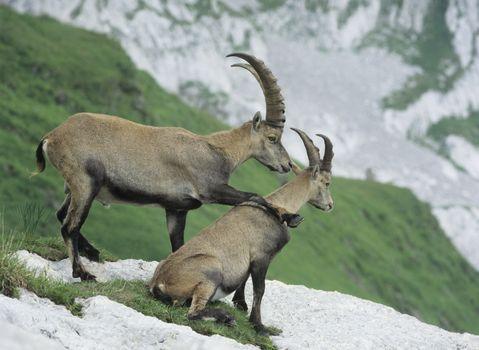 Couple of alpine ibexes