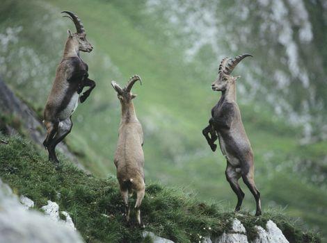 Three rearing alpine ibexes