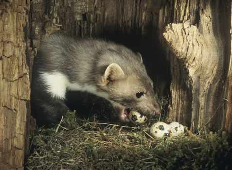 Weasel stealing eggs from nest
