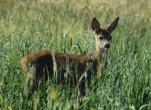 Roe deer in cereal field