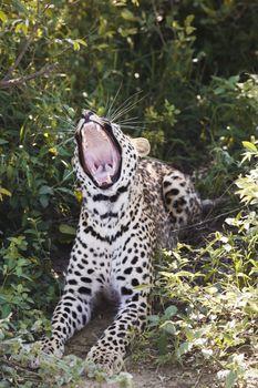 Leopard (Panthera pardus) lying in bushes yawning