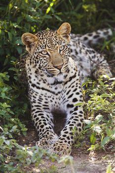 Leopard (Panthera pardus) lying in bushes