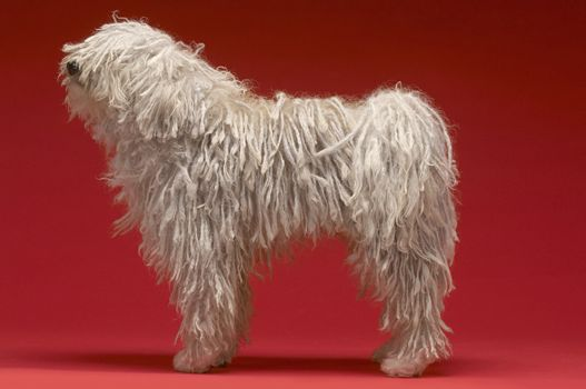 Full length side view of Hungarian shepherd dog on red background